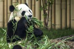 Panda affamé Photos stock