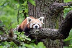 Panda Ailurus Fulgens Lying rojo en el primer de la rama imagen de archivo libre de regalías