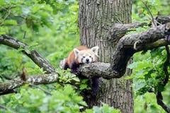 Panda Ailurus Fulgens Lying rojo en rama foto de archivo libre de regalías