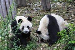 Panda allo zoo a Chengdu, Cina Fotografia Stock