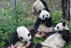 Panda allo zoo a Chengdu, Cina Immagini Stock