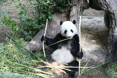 Panda americana Imagens de Stock Royalty Free