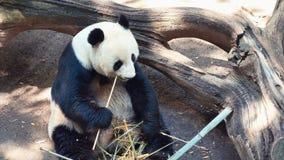 Panda animal Eating stock video