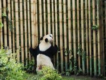 Panda arrière de géant Image libre de droits