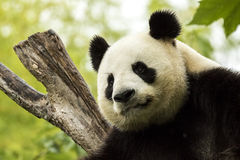 Panda asleep. Giant panda bear falls asleep during the rain in a forest after eating bamboo Royalty Free Stock Images