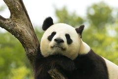 Panda asleep. Giant panda bear falls asleep during the rain in a forest after eating bamboo Stock Photo