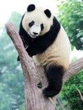 Panda auf dem Baum Stockfoto