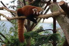 Panda in Australien Lizenzfreies Stockfoto
