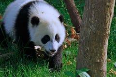 Panda-Bären-Gehen Lizenzfreies Stockfoto