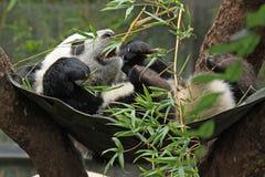Panda Baby. Young Giant Panda Eating Bamboo Playing In Swing Royalty Free Stock Image