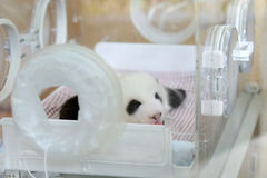Panda baby Stock Photos