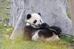 Panda Baby Photos libres de droits
