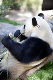 Panda baby Bear Stock Photos