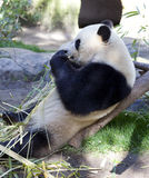 Panda baby Bear Royalty Free Stock Photo