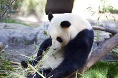 Panda baby Bear Royalty Free Stock Image