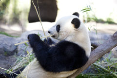 Panda baby Bear Royalty Free Stock Images