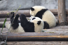 Panda Baby Royalty Free Stock Photos