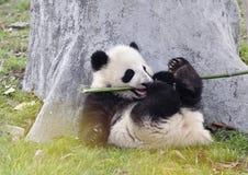 Panda Baby Stock Photo