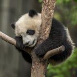 Panda baby Stock Images