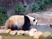 Panda Bear. The panda bear in Hong Kong Stock Image