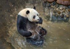 Panda bawić się wodę zdjęcie royalty free