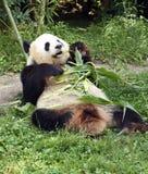 Panda bear. Lying  and eating bamboo Stock Photos