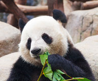 Panda bear. Giant panda bear eating bamboo leafs stock images