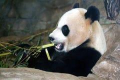 Panda Bear. Giant panda bear eating bamboo at the National Zoo in Washington DC Stock Image