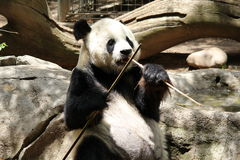 Panda Bear. Enjoying his bamboo Royalty Free Stock Photo