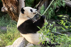 Panda Bear Fotografía de archivo