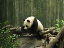 Panda Bear. Climbing a tree trunk royalty free stock photo