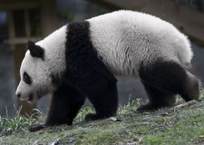 Panda bear. In the zoo, China Royalty Free Stock Photo