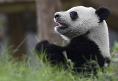 Panda bear. In the zoo, China Royalty Free Stock Photography