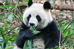 PANDA BEAR. Sat eating some tasty leaves stock photos