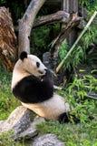 Panda Bear. A Panda bear (Ailuropoda melanoleuca) eats bamboo Royalty Free Stock Photography