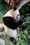 Panda Bear. A Panda bear (Ailuropoda melanoleuca) eats bamboo Stock Photos