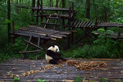 Panda bear: arguably the icon of Chengdu, or even Sichuan Province. Though considered as carnivore, it eats mostly bamboo (over 9. Panda bear: arguably the icon royalty free stock photos