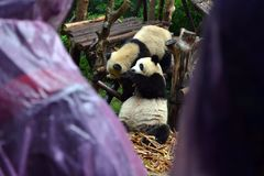 Panda bear: arguably the icon of Chengdu, or even Sichuan Province. Though considered as carnivore, it eats mostly bamboo (over 9 stock image