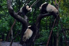 Panda bear: arguably the icon of Chengdu, or even Sichuan Province. Though considered as carnivore, it eats mostly bamboo (over 9. Panda bear: arguably the icon royalty free stock photography