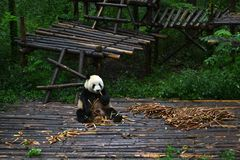 Panda bear: arguably the icon of Chengdu, or even Sichuan Province. Though considered as carnivore, it eats mostly bamboo (over 9 royalty free stock photo
