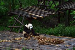 Panda bear: arguably the icon of Chengdu, or even Sichuan Province. Though considered as carnivore, it eats mostly bamboo (over 9 stock photography