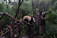Panda bear: arguably the icon of Chengdu, or even Sichuan Province. Though considered as carnivore, it eats mostly bamboo (over 9. Panda bear: arguably the icon stock images