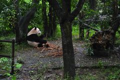 Panda bear: arguably the icon of Chengdu, or even Sichuan Province. Though considered as carnivore, it eats mostly bamboo (over 9 stock photos