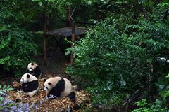 Panda bear: arguably the icon of Chengdu, or even Sichuan Province. Though considered as carnivore, it eats mostly bamboo (over 9 royalty free stock photography