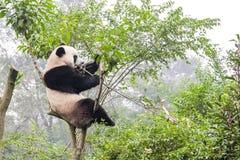 Panda bear on bamboo tree, China. Panda bear feeding on a bamboo tree, China Stock Photos