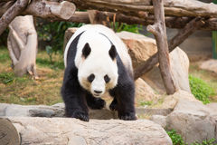 Panda Bear bonito Foto de Stock Royalty Free