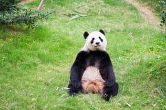 Panda Bear bonito Imagens de Stock Royalty Free