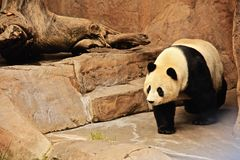 Panda Bear Chinese. Black and white furry giant panda bear from Wolong China meanders across the rocks royalty free stock photo