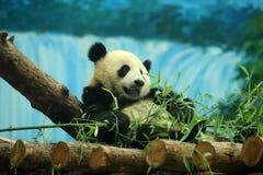Panda bear. Close shot of a cute panda bear stock photo
