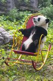 Panda Bear Cub, curso de China, jardim zoológico do Pequim Imagem de Stock